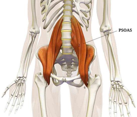 Comment le muscle psoas influence t-il votre santé et votre fitness ?
